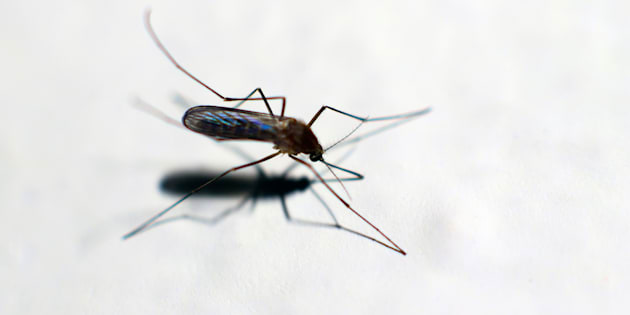 Il virus della malattia tropicale chikungunya colpisce ad Anzio