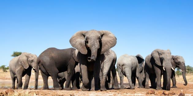 Ces éléphants existeront-ils encore dans quelques années?