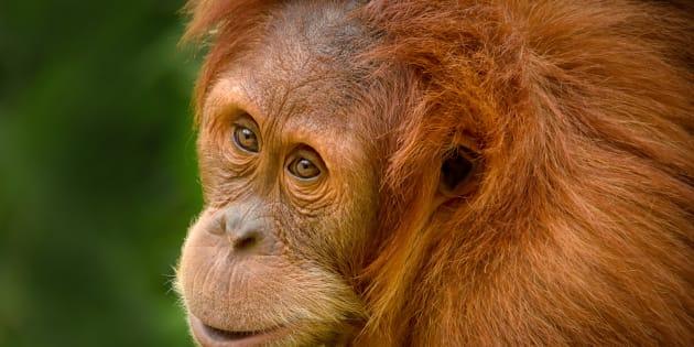 Perth Zoo's Orangutan Nyaru has gone home to Sumatra.