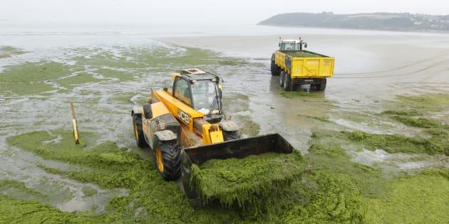 Des algues vertes ramassées à Saint-Michel-en-Grève, en Bretagne, le 2 août 2011.