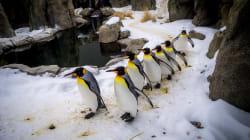 Avec le froid extrême, les manchots au chaud au zoo de
