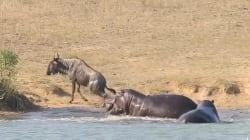 Sans ces deux hippopotames, ce gnou aurait été dévoré par un