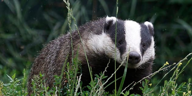 Since there's no practical way to first test whether or not a badger is actually infected with TB, the culls inevitably end up killing many healthy animals.