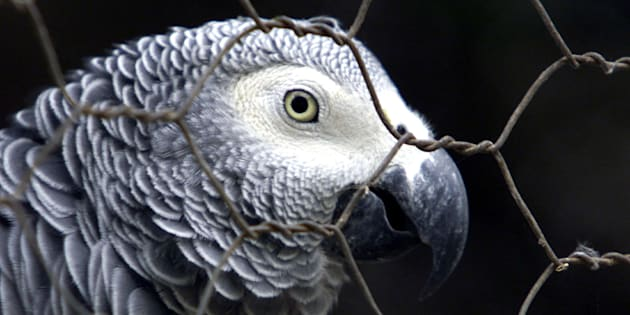 In foto un pappagallo cenerino simile a Bud