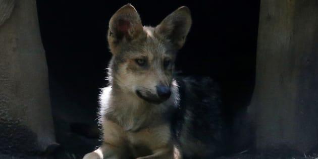 Fotos Los Ocho Lobos Mexicanos Recién Nacidos Que Alegrarán Tu Día