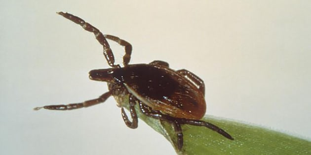 Une tique, responsable de la transmission de la maladie de Lyme (illustration)