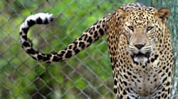 Mumbai's City Leopards And Forest