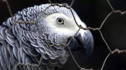 In America un pappagallo non potrà testimoniare in un caso di