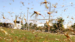 Swarms Of Locusts Could Pose Threat To Russia's Soccer World