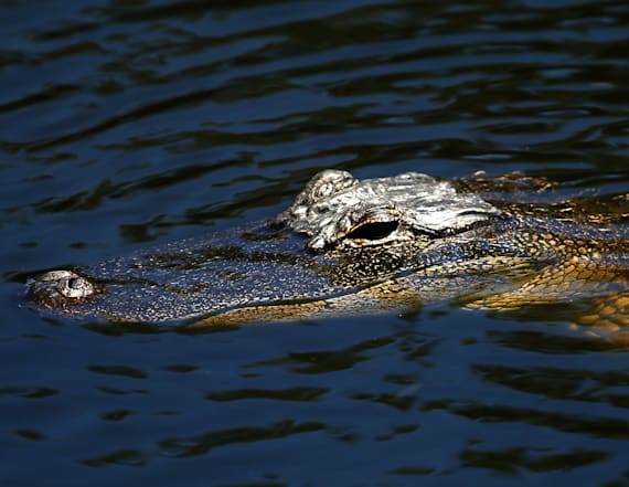 Woman killed by 8-foot alligator while walking dog