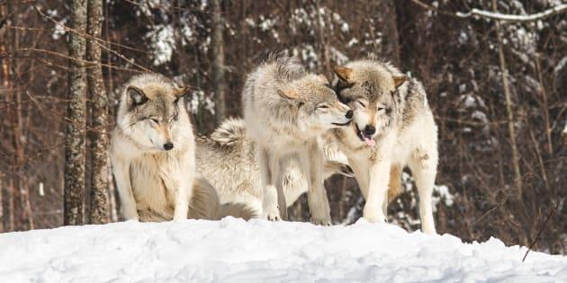 Des loups jouent dans la neige.