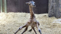 Watch As A Baby Giraffe Is Welcomed Into The