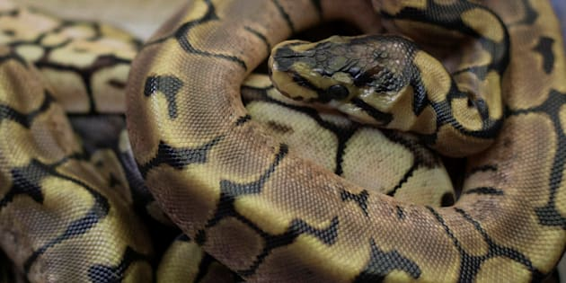 File photo of newborn ball pythons rest together in Assagay, South Africa.