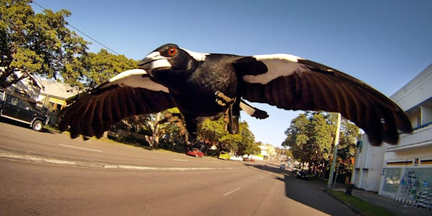 A magpie swoops a brave photographer.