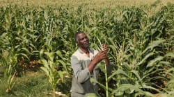 South Africa Faces Stiff Maize Export