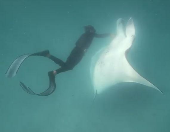 Massive manta ray filmed seeking help in Australia