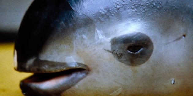 A dead vaquita, photographed in San Felipe, California in 1992.