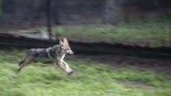 Una luz contra la extinción: siete lobos mexicanos son liberados en la vida