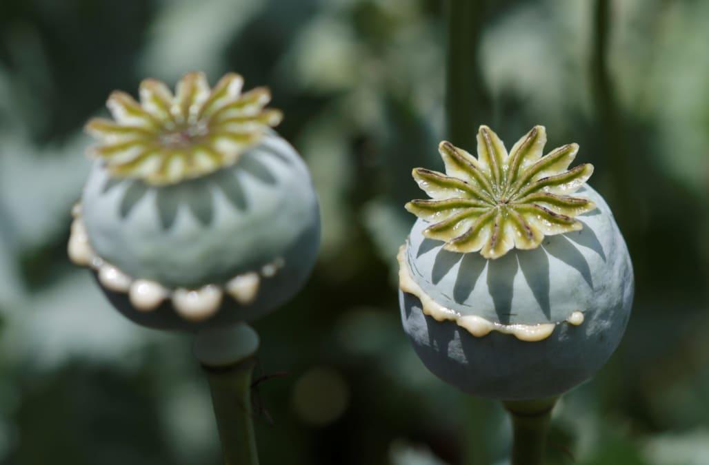 500 Million Opium Poppy Field Accidentally Found In North Carolina