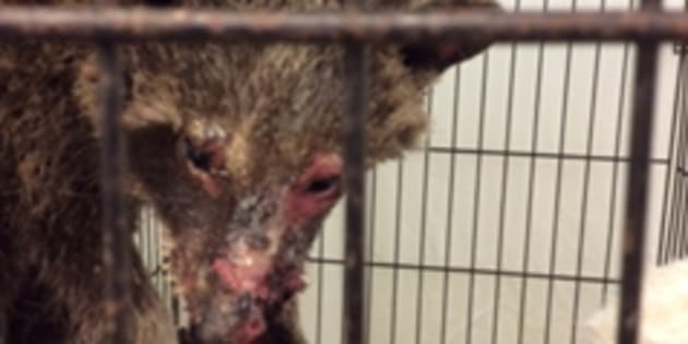 The raccoon was brought to Procyon Wildlife Centre in Beeton, Ont., after a woman found the animal.