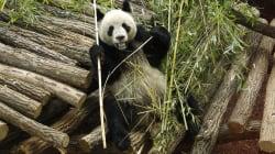 La femelle panda du zoo de Beauval attend en fait des