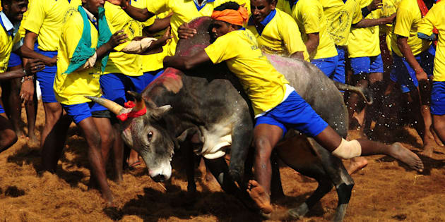 Participants attempt to hold down a bull during the traditional bull taming festival called 'Jallikattu'.