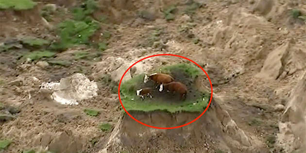 In this image made from video, three cows stranded on an island of grass in a paddock that had been ripped apart following an earthquake near Kaikoura, New Zealand Monday, Nov. 14, 2016. A powerful earthquake that rocked New Zealand on Monday triggered landslides and a small tsunami, cracked apart roads and homes and left two people dead, but largely spared the country the devastation it saw five years ago when a deadly earthquake struck the same region.(Newshub via AP) NEW ZEALAND OUT
