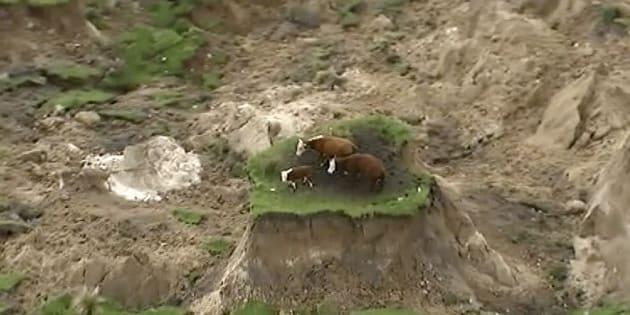Three cows have been saved from a mini island created by the NZ quake.