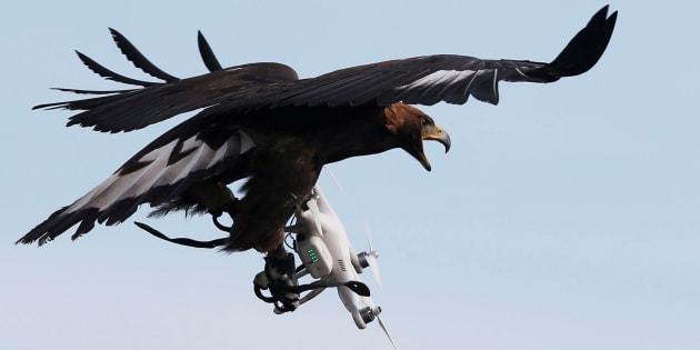 Les aigles chasseurs de drone font un flop aux Pays-Bas