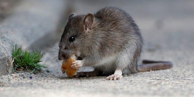 Un rat à Paris, photographié à proximité du Pont-Neuf en août 2017.