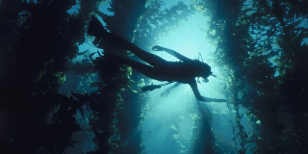 Kelp forests are at risk the world over including in Australia where it supports our local lobster industry.