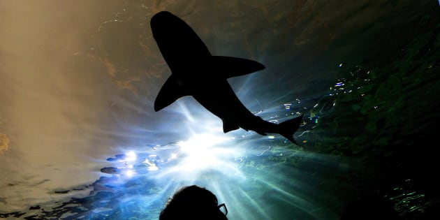 A person watches a shark swim during the grand opening of the Ripley's Aquarium of Canada in Toronto on Oct. 16, 2013.