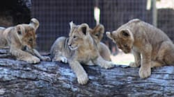 Lion Cubs Have Made Their Debut In Dubbo And It's As Cute As It