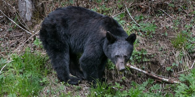 Un ours noir en Caroline du Nord aux Etats-Unis le 11 mai 2018 (photo d'illustration).