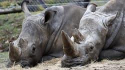 Ruanda inicia la repoblación de rinocerontes 10 años después de su