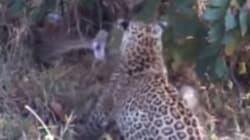 Giant Python vs. Leopard Mom: Game