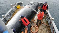 Japón volverá a cazar ballenas en julio de