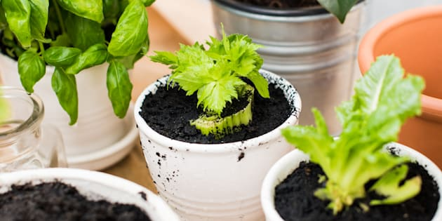 Celery and lettuce can easily be re-grown from scraps.