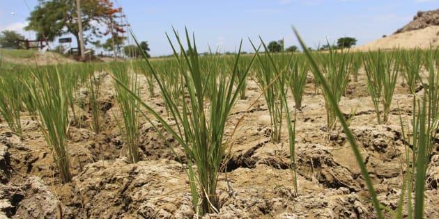 Efectos de la sequía en un campo de arroz.