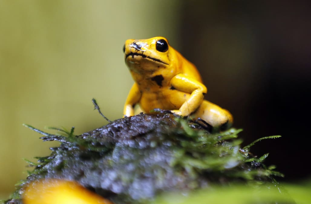 Frogs are dying off at record rates, an ominous sign the 6th mass extinction is hitting one group of creatures hardest