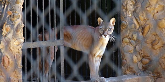 痩せ細ったピューマ= 2月14日、マラカイボの動物園、ベネズエラ