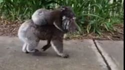 This Video Of A Pair Of Koalas Taking A Morning Stroll Is So