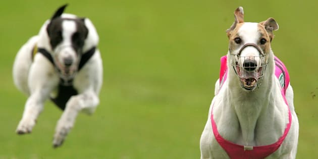 You can head to Sydney's Wentworth Park and save a greyhound on Saturday.