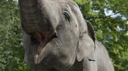¿Imaginabas que un elefante podía levantar una tortilla frita sin