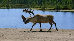 Canadian Caribou Are Still In Trouble. Governments And Industry Aren't