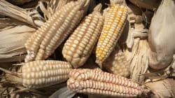 El maíz y el hombre: ¿quién inventó a