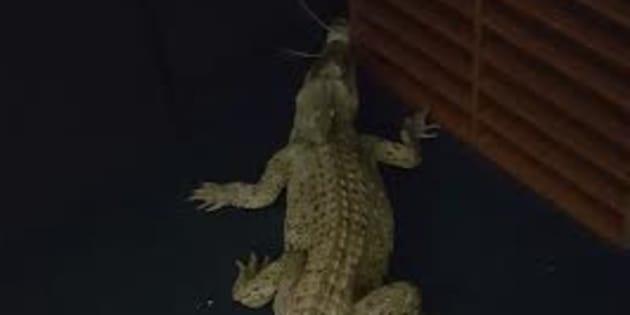One of the saltwater crocs released inside the Humpty Doo highschool.