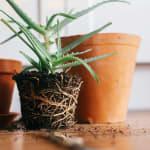 8 choses à savoir sur le rempotage des plantes