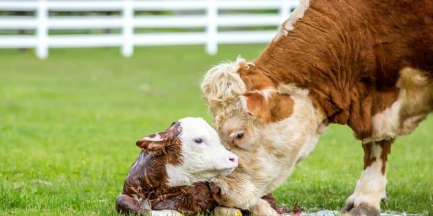 Renoncer aux produits laitiers, c'est épargner les vaches qui sont aussi des mères.