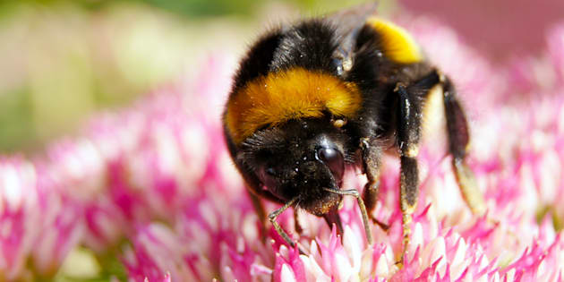 macro of a bumblebee on a flower